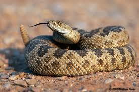 Rattlesnake Encounter While Running – What todo?