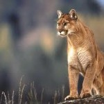 cougar-pic-for-website-150x150