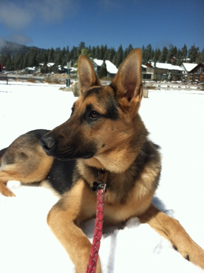 Rocky's first time in Snow in Big Bear. He is definitely a snow dog. Here he is 8 months old.